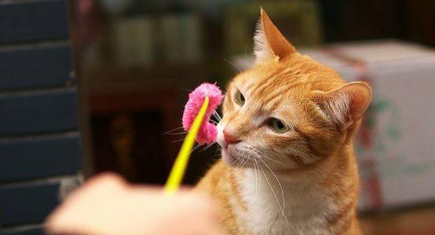 雖然你的愛貓可能會是家中超級細菌的傳染源,但貓便便未來有可能成為治療癌症的新解藥。一種存在於貓便便中的單細胞寄生蟲,經研究證實可以促使免疫系統開始攻擊腫瘤細胞,動物實驗中可以讓九成小鼠存活,在目前熱門的癌症免疫治療領域,開啟新的研究途徑。 這種寄生蟲叫做「弓漿蟲」(Toxoplasma gondii),主要寄生在貓的腸道,但也會感染到其他恆溫動物身上,包括人類,不過由於免疫系統發揮作用,人們幾乎不會因為牠而生病。一個健康的免疫系統會如何對付弓漿蟲,它也就會以同樣方法對付腫瘤,美國新罕布夏州達特茅斯學院醫學